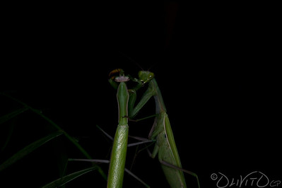 Praying_Mantis_Sexual_Cannibalism_European-62