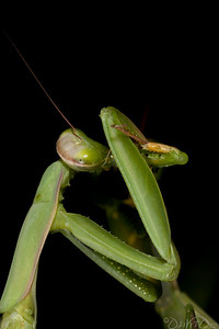 Praying_Mantis_Sexual_Cannibalism_European-09