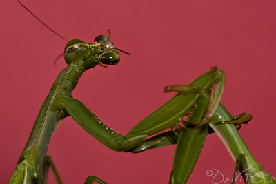 Praying_Mantis_Sexual_Cannibalism_European-28