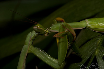 Praying_Mantis_Sexual_Cannibalism_European-32