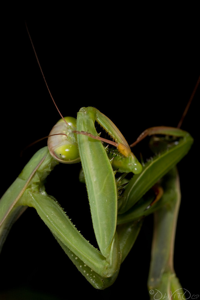 Praying_Mantis_Sexual_Cannibalism_European-08