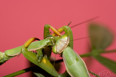 Praying_Mantis_Sexual_Cannibalism_European-24