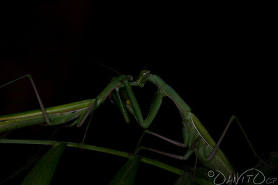 Praying_Mantis_Sexual_Cannibalism_European-66