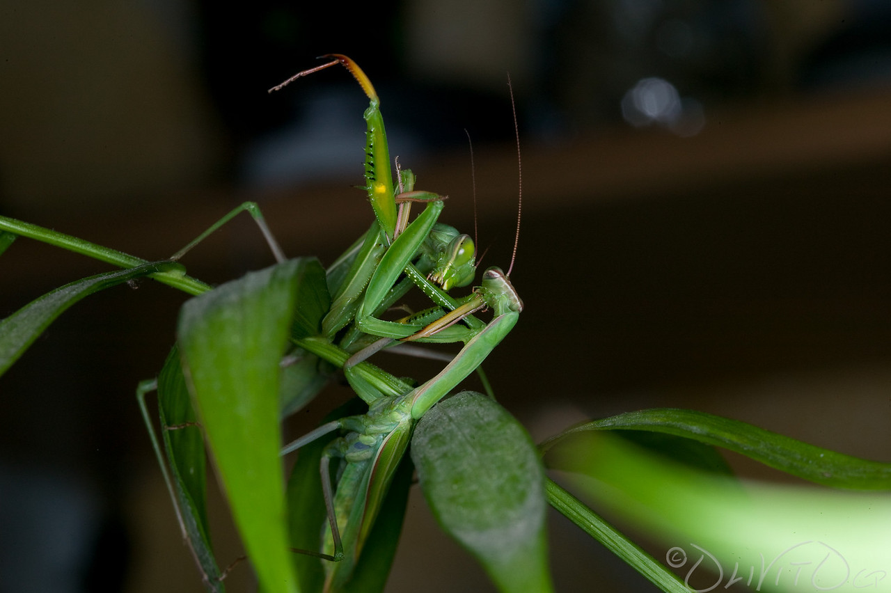 Praying_Mantis_Sexual_Cannibalism_European-57