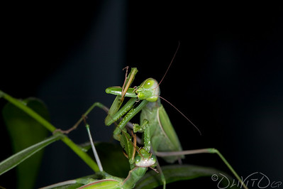 Praying_Mantis_Sexual_Cannibalism_European-61