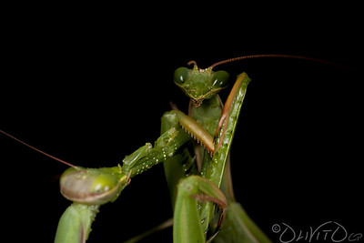 Praying_Mantis_Sexual_Cannibalism_European-11