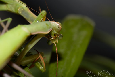 Praying_Mantis_Sexual_Cannibalism_European-19
