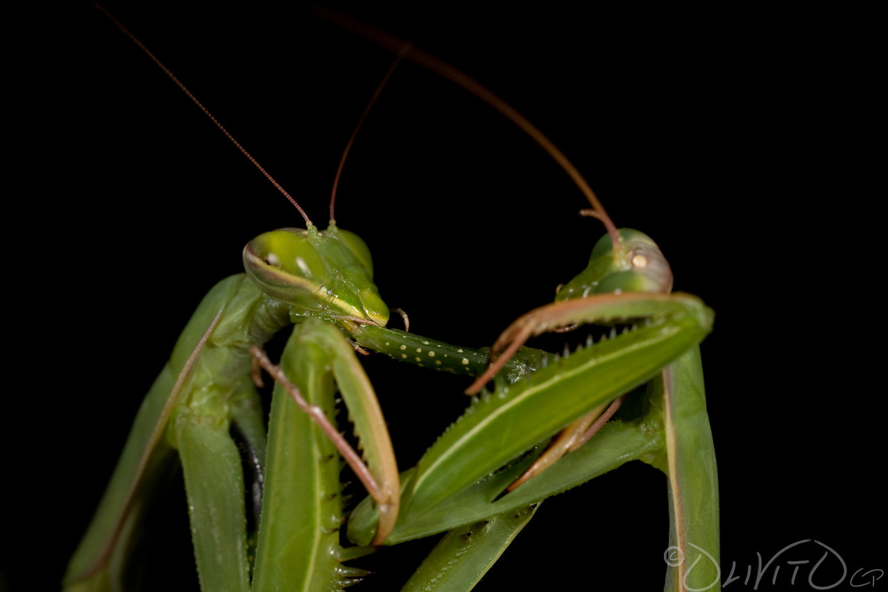 Praying_Mantis_Sexual_Cannibalism_European-15