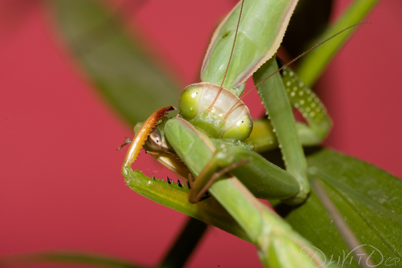 Praying_Mantis_Sexual_Cannibalism_European-20