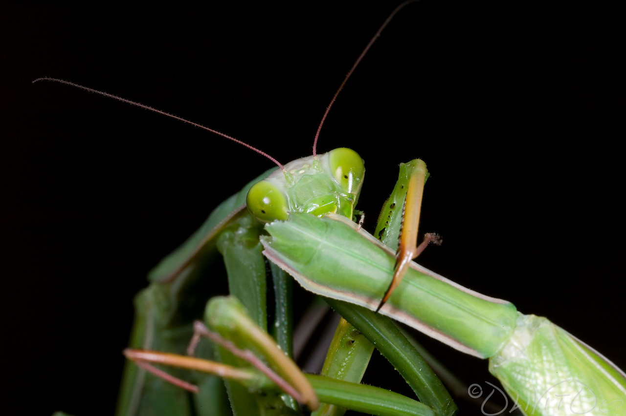 Praying_Mantis_Sexual_Cannibalism_European-80