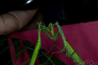 Praying_Mantis_Sexual_Cannibalism_European-63