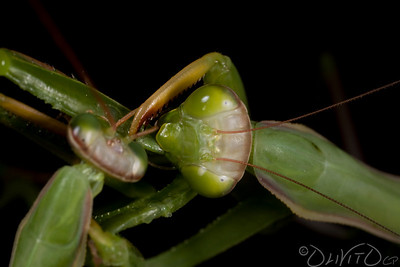 Praying_Mantis_Sexual_Cannibalism_European-03