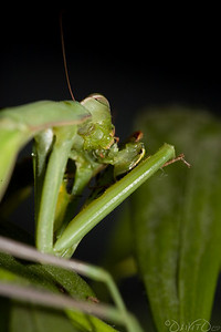 Praying_Mantis_Sexual_Cannibalism_European-21