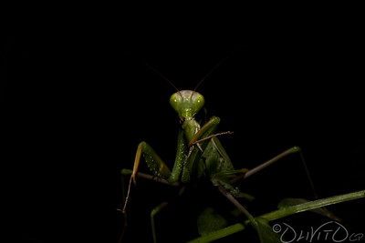 Praying_Mantis_Sexual_Cannibalism_European-48
