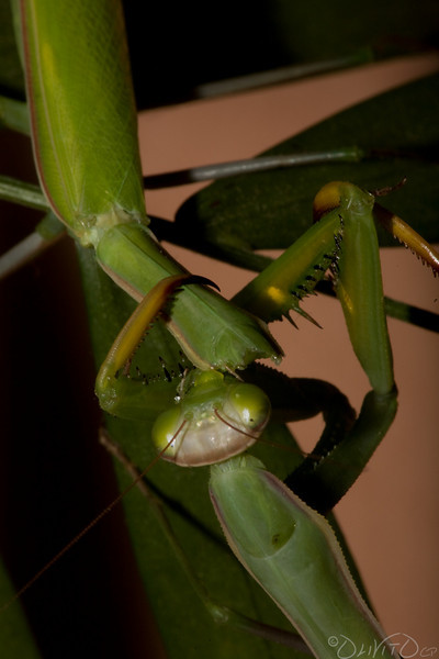 Praying_Mantis_Sexual_Cannibalism_European-33