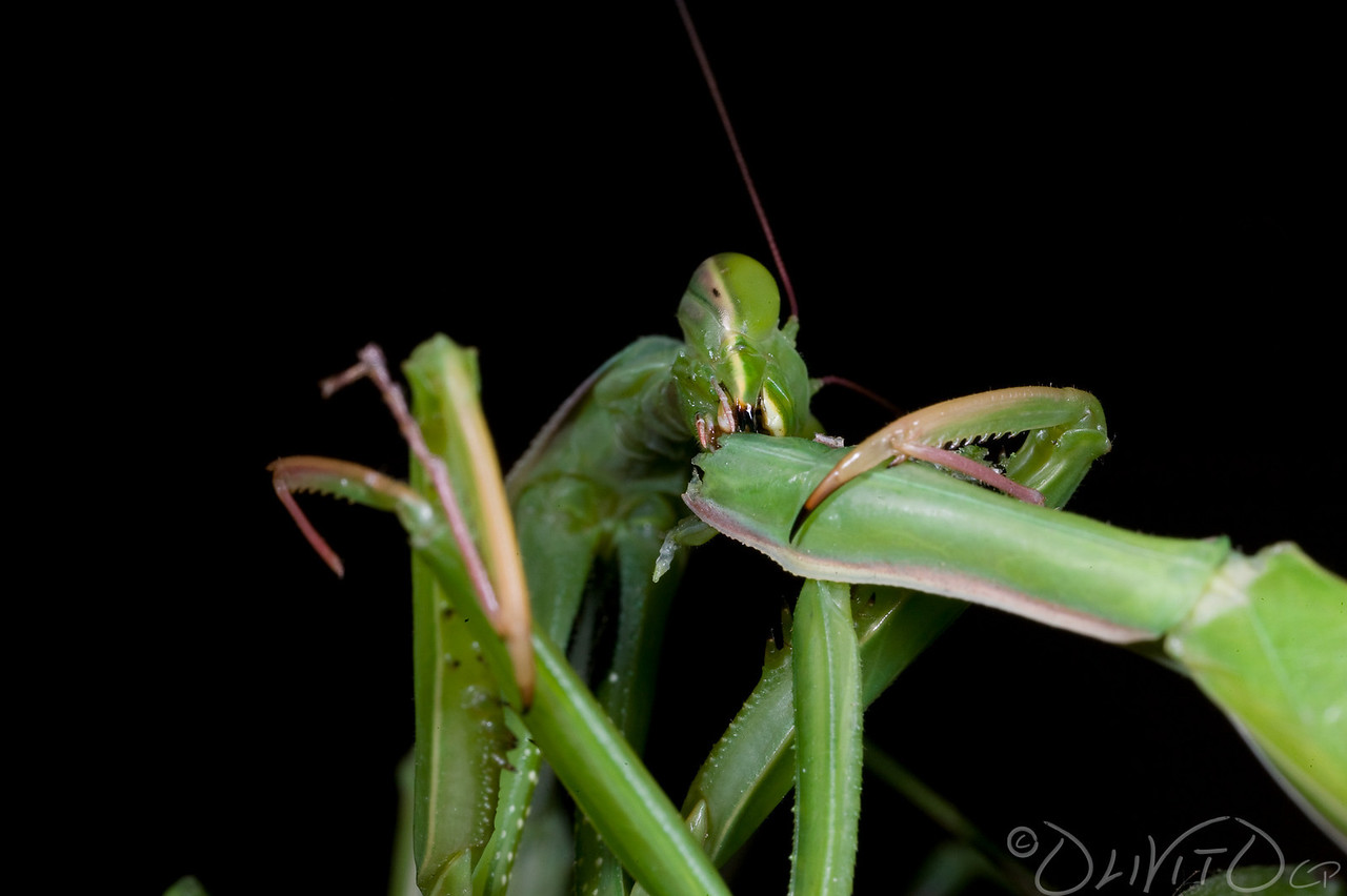 Praying_Mantis_Sexual_Cannibalism_European-79