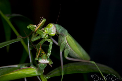 Praying_Mantis_Sexual_Cannibalism_European-60