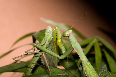 Praying_Mantis_Sexual_Cannibalism_European-36
