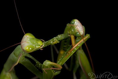 Praying_Mantis_Sexual_Cannibalism_European-13