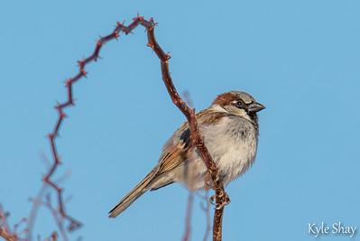 Mar 19th 2015  Male House Sparrow Male Hooded Merganser