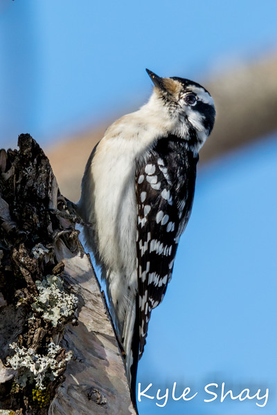 Mar 24th 2015 Downey Male Female Woodpecker Dingle Tower