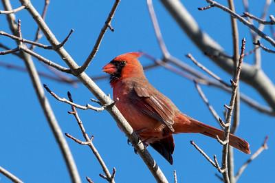 Mar 26th 2017 Male Cardinal Bedford