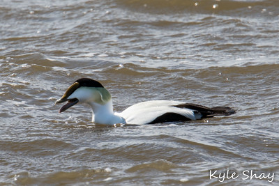 Mar 6th 2015 Male Eider Fisherman Reserve