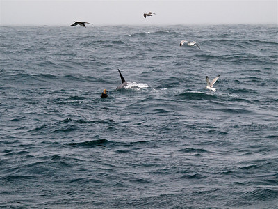 Albatross by Killer Whale Copyright 2009 Neil Stahl