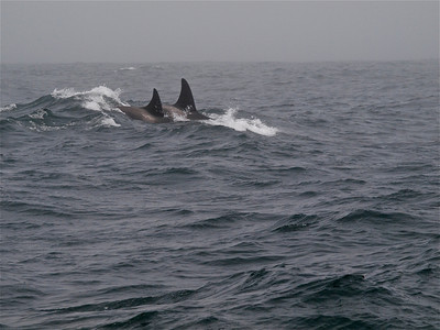 Killer Whales 1 Copyright 2009 Neil Stahl