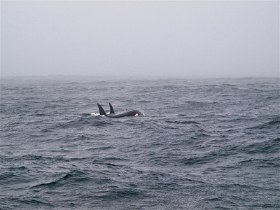Killer Whales 2 Copyright 2009 Neil Stahl
