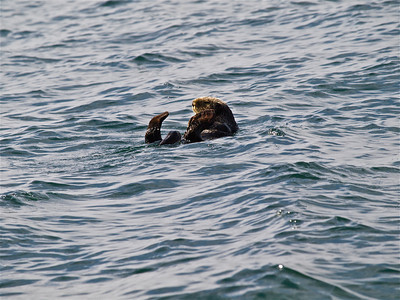 Sea Otter Counting its Toes Copyright 2009 Neil Stahl