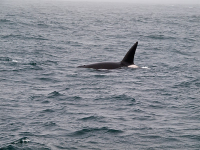 Killer Whale 3 Copyright 2009 Neil Stahl
