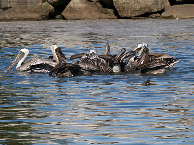 A Hassle of Pelicans Copyright 2009 Neil Stahl