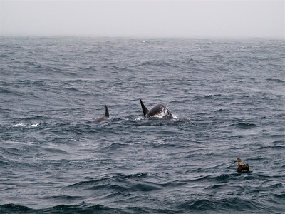 Albatross watching Killer Whales Copyright 2009 Neil Stahl