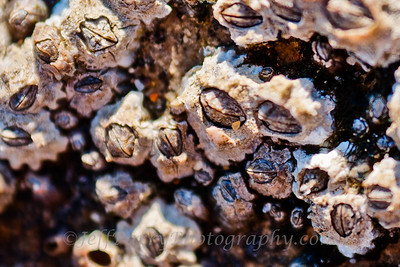 Brown Buckshot Barnacle micro