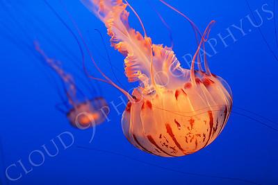 Jellyfish 00012 by Peter J Mancus