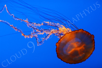 Jellyfish 00007 by Peter J Mancus