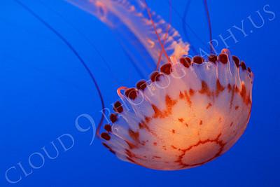Jellyfish 00011 by Peter J Mancus
