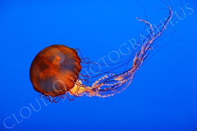Jellyfish 00008 by Peter J Mancus