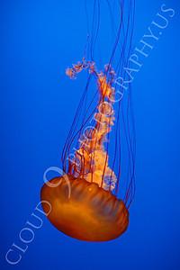 Jellyfish 00003 by Peter J Mancus