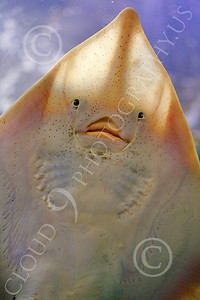 Stingray 00001 Close-up of a stingray's face by Peter J Mancus