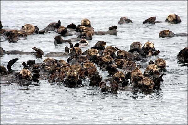 Sea Otters - 2009