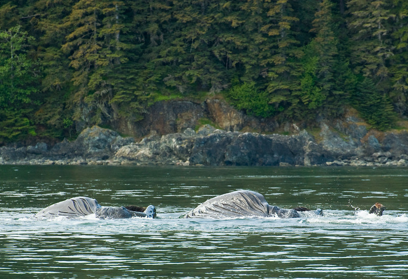 Humpbacked Whales displaying balien