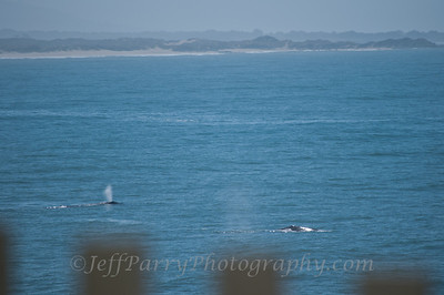 Gray Whale migration at Pigeon Point