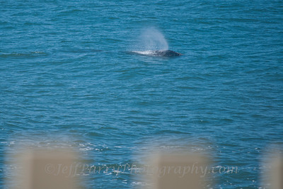 Gray Whale spout at Pigeon Point