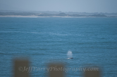 Thar she blows at Pigeon Point