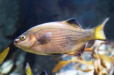 Striped fish 9829