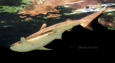 shark in colored water 2738