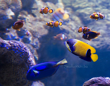 Blue and Blue yellow fish 9822
