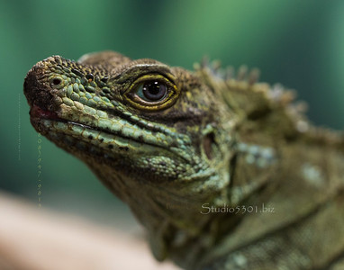 Iguana 8975